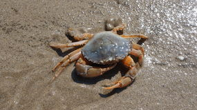 Crab in the Sand. A Crab in wet sand taken as the tide receded Stock Images