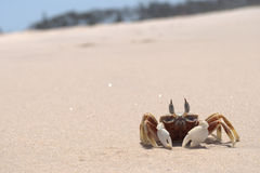 Crab. On a sandy beach in Australia Stock Images