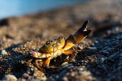 Crab on a sandy beach. In fighting stance Stock Images