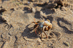 Crab on the sandy beach royalty free stock images