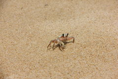 Crab2. Crab on a sandy beach in Thailand Royalty Free Stock Photography