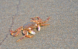 Crab at sea beach Stock Photos