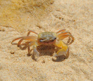 Crab on sea sunny beaches Royalty Free Stock Photo