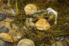 Crab in seashells on the dirty sand background Royalty Free Stock Image