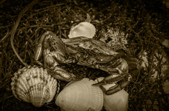 Crab in seashells on the dirty sand background Royalty Free Stock Images