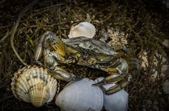 Crab in seashells on the dirty sand background Stock Photography