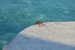 A crab dreamer. A crab that seated at the stone and look at the sea Stock Photography