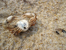 Crab series 2. Small crab carcass facing up showing underside with legs and sharp pincers on fine sands in Lanjut Beach, Malaysia Stock Image