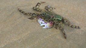 Crab in shallow water on the beach. Mui Ne, Vietnam stock footage