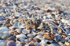 Crab and shell Stock Photography