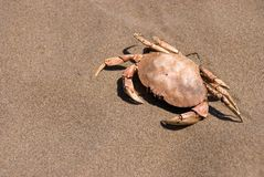 Crab Shell Royalty Free Stock Photography