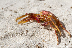 Crab shell Stock Images