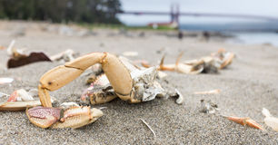 Crab shells and bridge. Crab shells on beach sand, Golden Gate Bridge out of focus in the background. Grey, cloudy day Royalty Free Stock Image