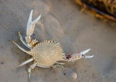 Crab on shore. Angry crab on beach Royalty Free Stock Images
