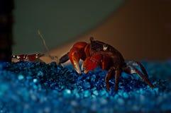 Crab and shrimp Royalty Free Stock Photos