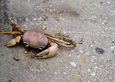 Crab On Sidewalk Royalty Free Stock Image