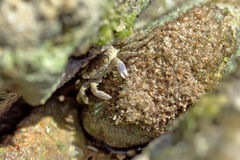 Crab sits and eats. The crab sits on a stone and eats algas Stock Photo