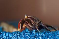 Crab sitting Royalty Free Stock Photos