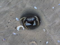 The crab is sitting in his burrow Royalty Free Stock Photos