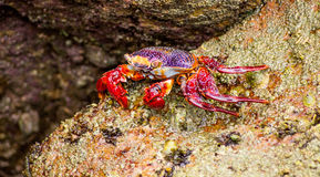 Crab sitting on a Rock Royalty Free Stock Photo