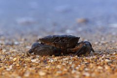 Crab sitting on sea coast Royalty Free Stock Photography
