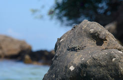 Crab sitting on the Stone, Krabi, Thailand. Royalty Free Stock Image