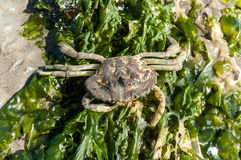 Crab skeleton and sea lettuce Royalty Free Stock Photo