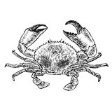 Crab sketch. Vector illustration on white background. royalty free illustration