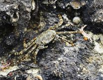 Crab. A small Crab camouflaged on the rocks Stock Photos