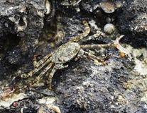 Crab Stock Photos