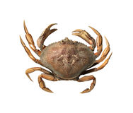 Crab. Small crab on a Pacific Ocean beach, isolated Royalty Free Stock Photography