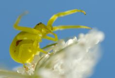 Crab spider Royalty Free Stock Image
