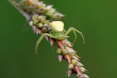 Crab spider Stock Image