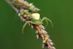 Crab spider Stock Image
