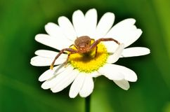 Crab Spider Royalty Free Stock Photo