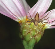 Crab Spider... Crab Spider waiting on the underside of a daisy for it's prey Stock Photo