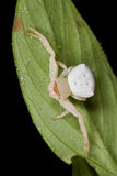 Crab spider Stock Photography