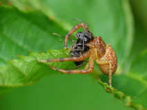 Crab Spider with Ant Prey Stock Photos