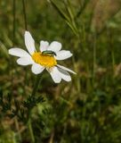 Crab Spider and Beetle on white and yellow flower Royalty Free Stock Image