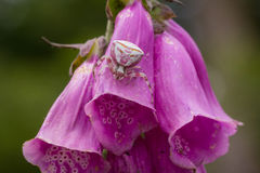 Crab spider camouflaged on a foxglove flower. Crab spider (Misumena vatia) camouflaged on a purple foxglove flower ( Digitalis purpurea). The spider uses the Royalty Free Stock Photo