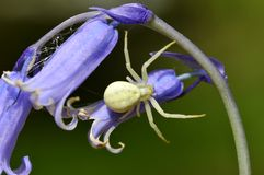 Crab spider on common bluebell flower Stock Photos