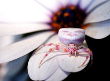 Crab Spider on Daisy. A Crab Spider on a Daisy petal Royalty Free Stock Images