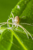 Crab Spider Eating. Macro Photo Of A Crab Spider Eating A Tick Royalty Free Stock Images