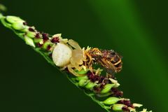 Crab spider eating a bee Royalty Free Stock Image