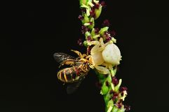 Crab spider eating a bee Royalty Free Stock Photography