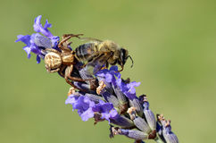 Crab spider eating bee Stock Photo