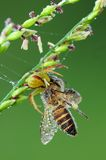 Crab spider eating a bee in the park. S Royalty Free Stock Photo