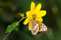 Crab spider eating butterfly in wild. Yellow crab spider ambushed foraging Variegated Fritillary butterfly on flower in North carolina. Goldenrod crab spider? royalty free stock photos