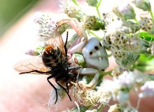 Crab spider eating a fat fly Royalty Free Stock Image