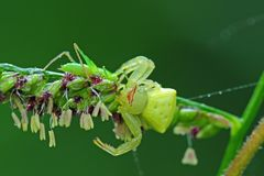 Crab spider eating a grasshopper Stock Photo